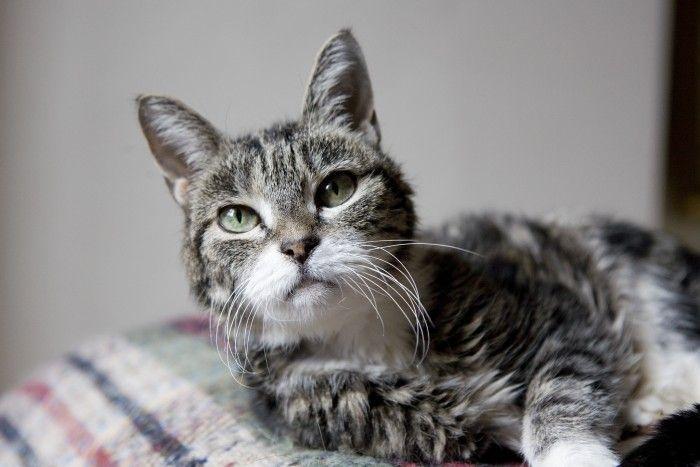 gato con insuficiencia renal